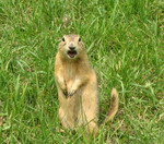 prairie dog visiting the Assiniboine Zoo Winnipeg